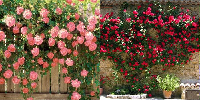 Tường hoa hồng